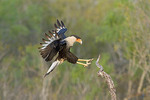 Crested Caracara about to land on a branch.