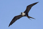 Magnificent Frigatebird in flight.