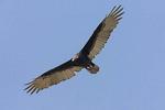 Adult Turkey Vulture in flight.