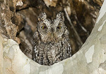 Cute Whiskered Screech owl in a tree.
