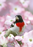 Rose-breasted Grosbeak in flowering Dogwood tree.