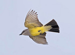 Western Kingbird in flight.