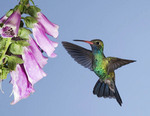 Broad Billed hummingbird by a flower.