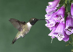 Black Chinned hummingbird by a flower.