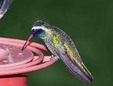 White Eared hummingbird by a feeder.