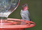 Anna's hummingbird by a feeder.