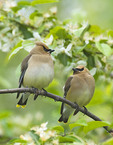 A couple of cedar waxing perched on a tree branch.