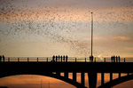 World's largest urban bat colony in Austin, flying over Congress Avenue Bridge.