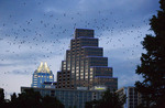 World's largest urban bat colony in Austin, flying over Congress Avenue Bridge.