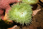 Sea Anemone in Newport, Oregon.