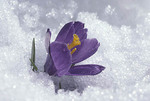 Crocus bloom in spring snow.