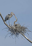 Two Great Blue Herons by their nest.