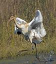 Whooping crane taking off.