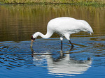 Whooping crane looking for food.