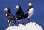 Three Atlantic Puffins on a rock.