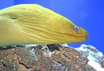 Moray eel in The Pier Aquarium, St. Petersburg, Florida.
