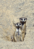 Two adult meerkats on the look out.