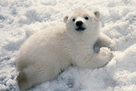 Four month old orphaned baby polar bear.