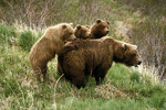 Mother brown bear and three yearling cubs near McNeil River Sanctuary.