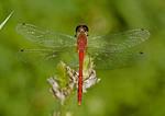 Ruby Meadowhawk dragonfly on a flower.