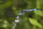 Male Blue Dasher dragonfly on a flower.