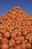 Giant pile of pumpkins