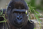Gorilla World at the Cincinnati Zoo is a popular exhibit showing off its many western lowland gorillas on display.