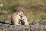 Two Black-tailed prairie dogs in Sully's Hill National Game Preserve, North Dakota.