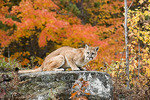 A Mountain lion crouched on a rock, Sandstone, Minnesota.