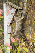 Adult Northern raccoon climbing a bluebird house in Sandstone, Minnesota.