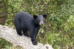 Young Black bear on a tree log.