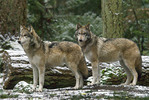 Two Gray wolves in the woods.