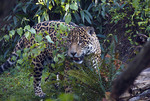 Beautiful Jaguar behind some leaves and branches.
