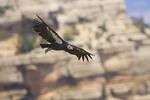 California Condor flying over South Rim Grand Canyon in Arizona.