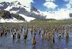 A large group of King penguins in Gold Harbor, South Georgia Island, South Atlantic.