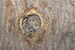 Immature elf owls cuddled up in nest cavity entrance.