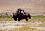 African elephants mating.