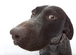 Close-up of German Wired Hair Pointer