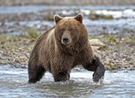 Brown Bear  walking in a stream