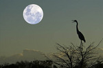 Great Blue Heron in a tree with the moon rsing