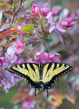 Swallowtail butterfly on a blossom