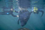 School teachers snorkeling with the Manatees at Crystal River Florida