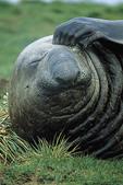 Adult male Southern Elephant Seal on South Georgia Island