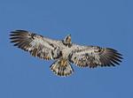 Immature bald eagle flying