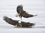 Two bald eagles fighting over a fish