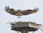 Osprey landing in it's nest