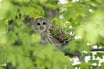 Barred Owl looking out of branches