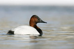 Canvasback on Winter Lake with Snow
