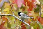 Carolina Chickadee Perched in Fall Sweetgum