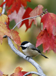 Carolina Chickadee perched in fall maple tree.